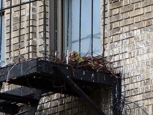 JHW Hawk Nest - 2452