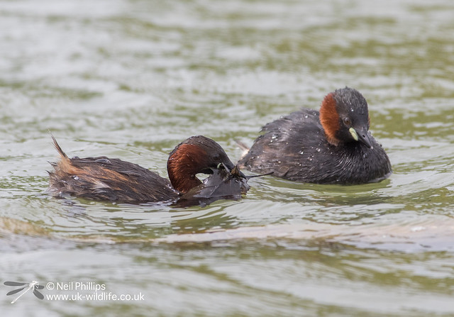 Little grebes trying to save nest and crow raids it-22