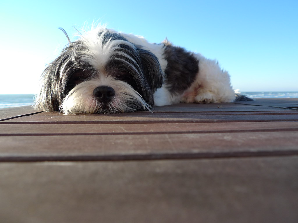 Wendell The Shih Tzu At Port Aransas Texas Wendell Rocky1 Flickr