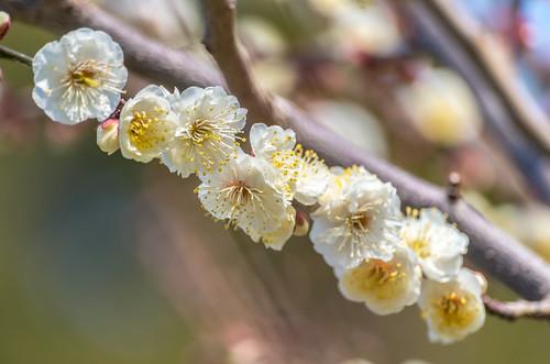 早咲きの梅 5