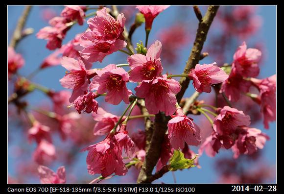 20140228_CherryBlossom5