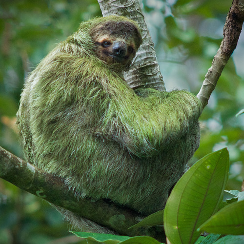 Sloths are some of the most arboreal of mammals, spending almost their entire lives in the trees