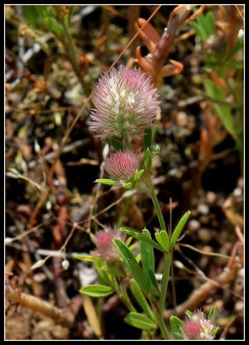 Trifolium arvense - trèfle des champs 33313426444_f9a6e1f8dc