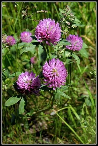 Trifolium pratense - trèfle des prés 33344722853_6886253368