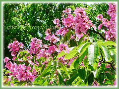 A prolific Lagerstroemia speciosa (Giant crape-myrtle, Queen's crape-myrtle, Queen's Flower, Pride-of-India), 11 April 2011 with attractive pink flowers