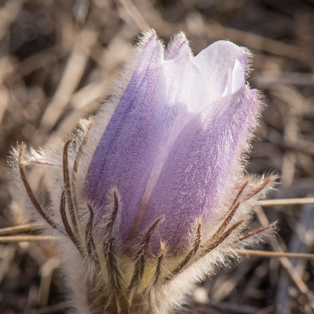 Prairie crocuses