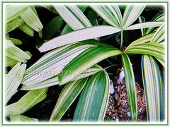 Variegated leaves of Rhapis excelsa cv. Variegata (Variegated Lady Palm, Variegated Bamboo Palm, Variegated Broadleaf Lady Palm) in assorted hues of green, yellow and white, 10 April 2017