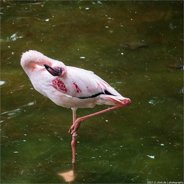 _flamingo