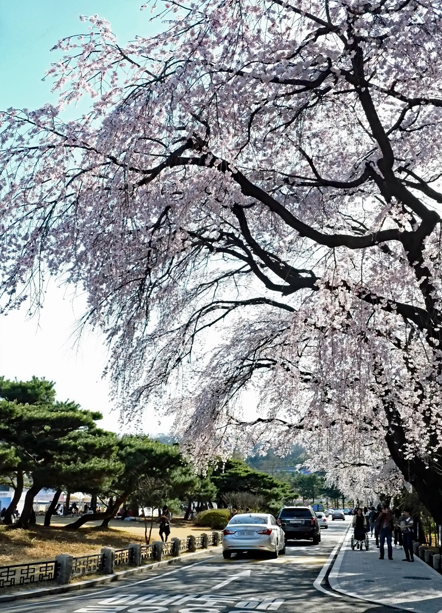 Korea's Cherry Blossoms: Seoul National Cemetery