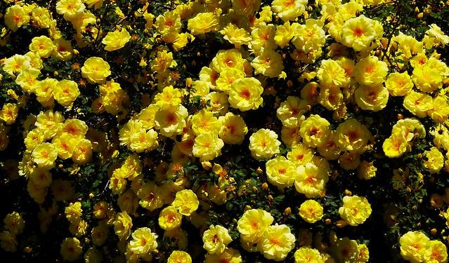 Yellow rose bush-Sony HX20 | Flickr - Photo Sharing!