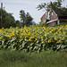 Sunflower Field in Hillsborough, New Jersey