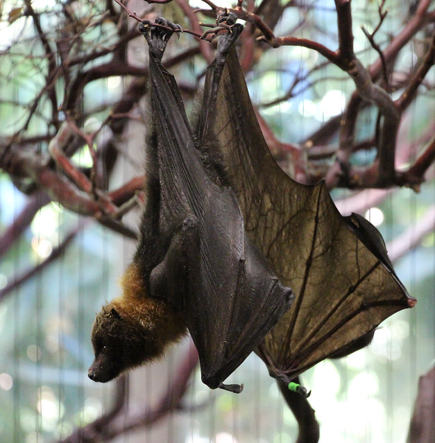 rodrigues fruit bat is fruit punch healthy