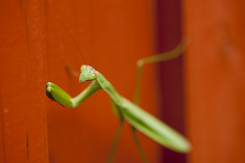 Image Result For Praying Mantis Life