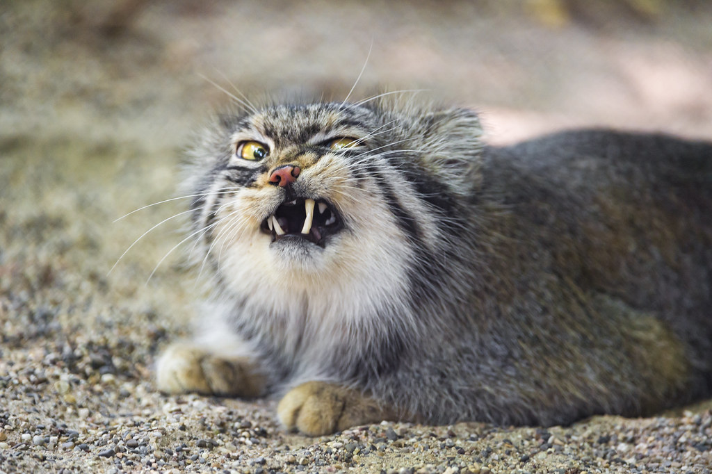"""""""Pallas cat looking angry"""" by Tambako The Jaguar"""