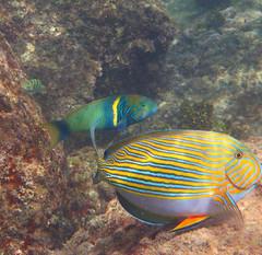 Striped surgeonfish (Acanthurus lineatus) & goldbar wrasse (Thalassoma hebraicum), Anse Lazio, Praslin