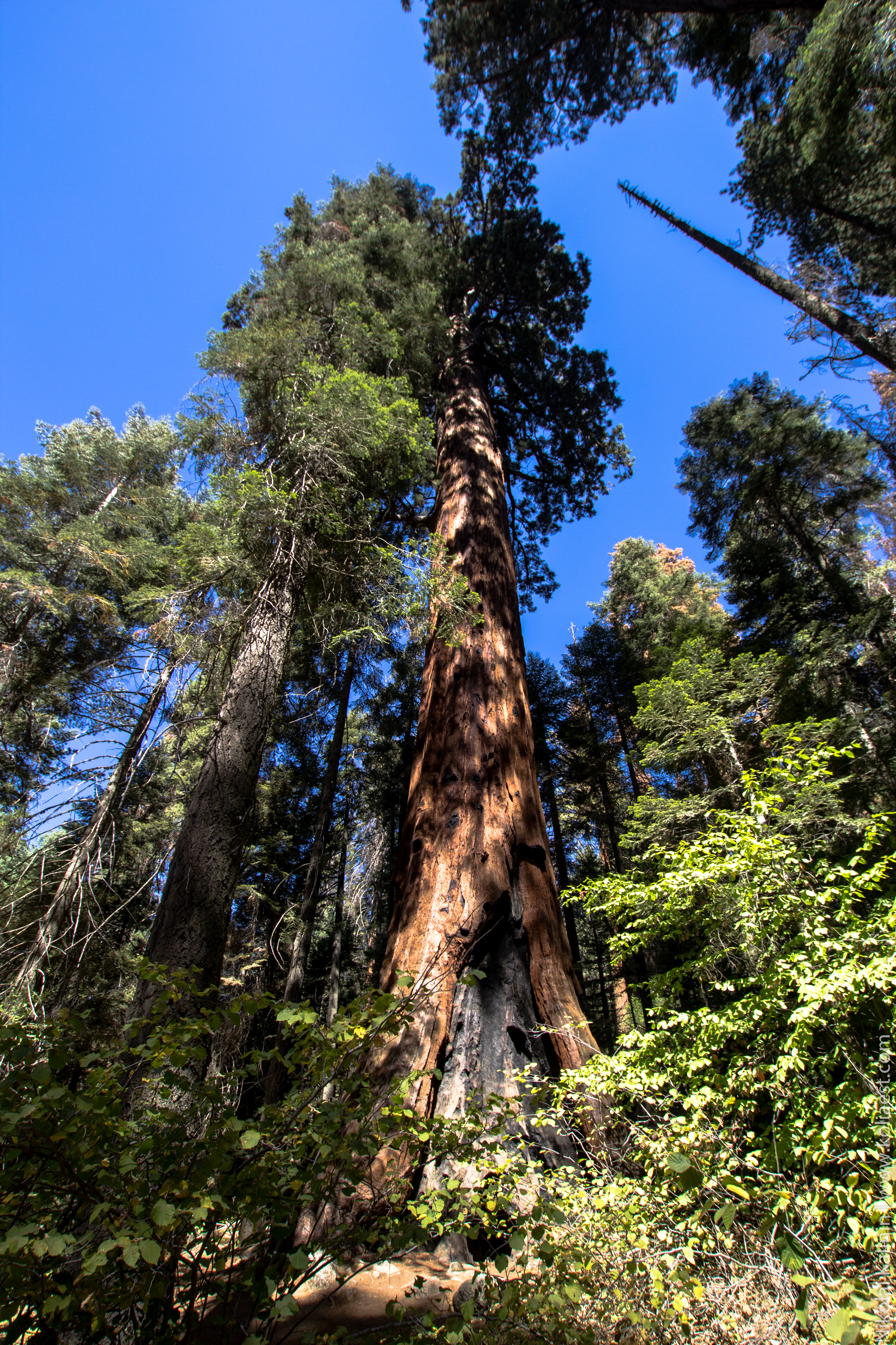 Sequoia-70