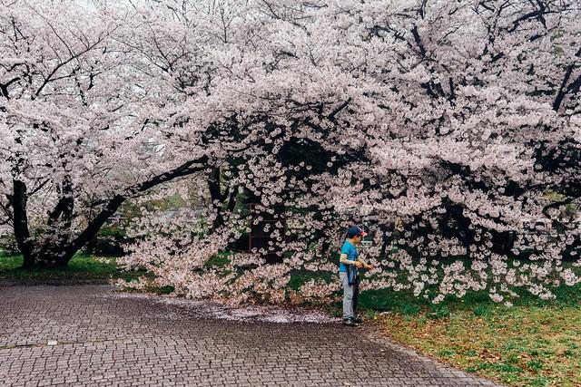 NagoyaCastleSakura_10