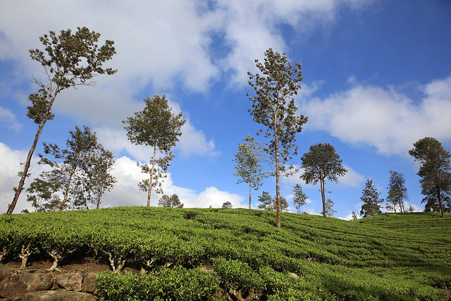PW-Ceylon-Tea Country4