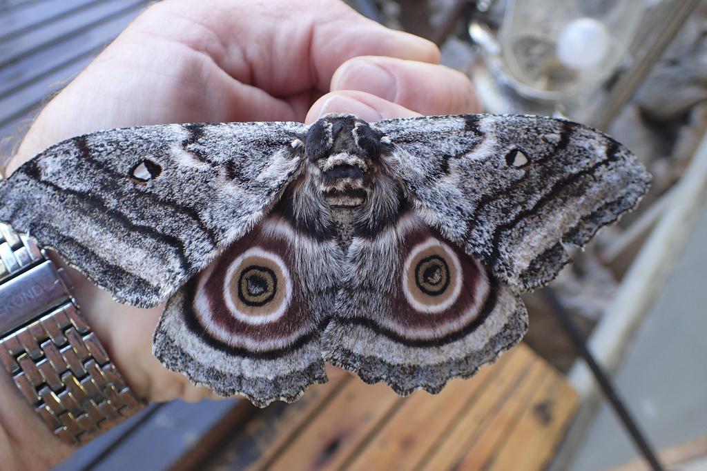 Big moth!