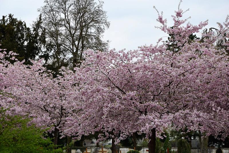 Japanese Cherry Tree 02.04 (2)