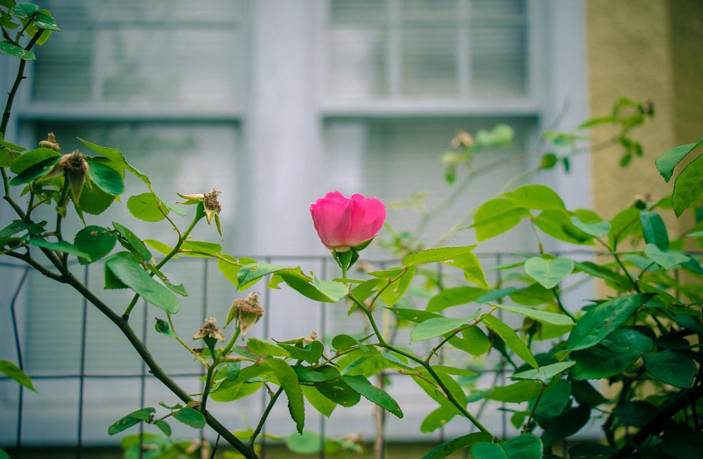 Rosa 'Zerphrine Drouhin'