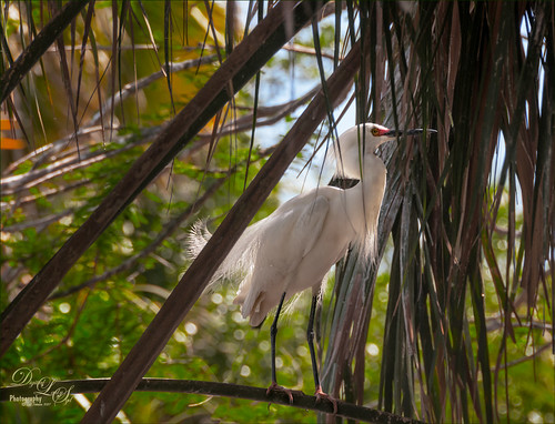 Hiding Snowy Egret at the St. Augustine Alligator Farm Rookery