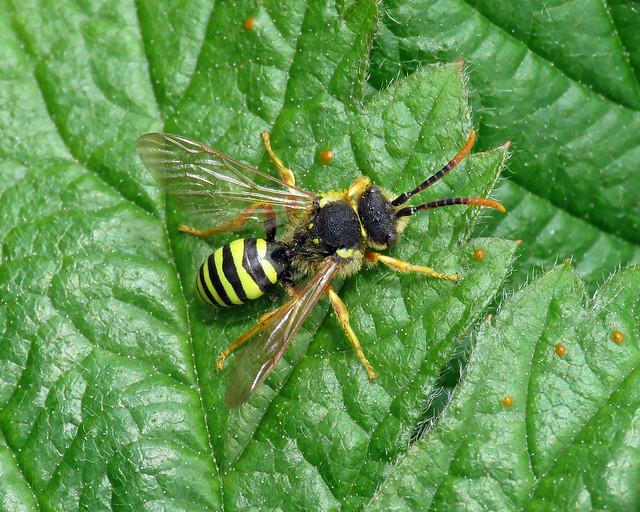 Gooden's Nomad Bee - Nomada goodeniana