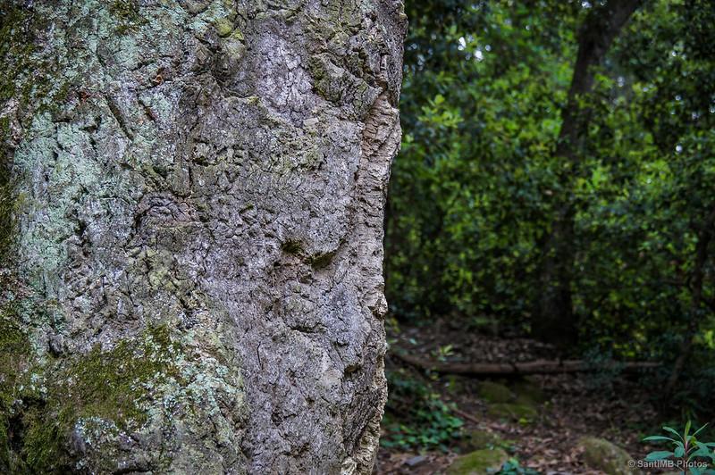 Corteza del alcornoque monumental de la Font d'en Canet