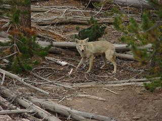 060 Coyote