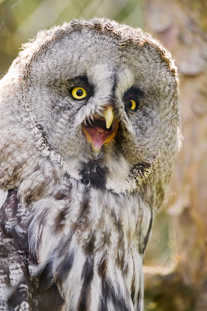 Owl With Open Beak Now Pictures Of The Z 252 Rich Zoo With