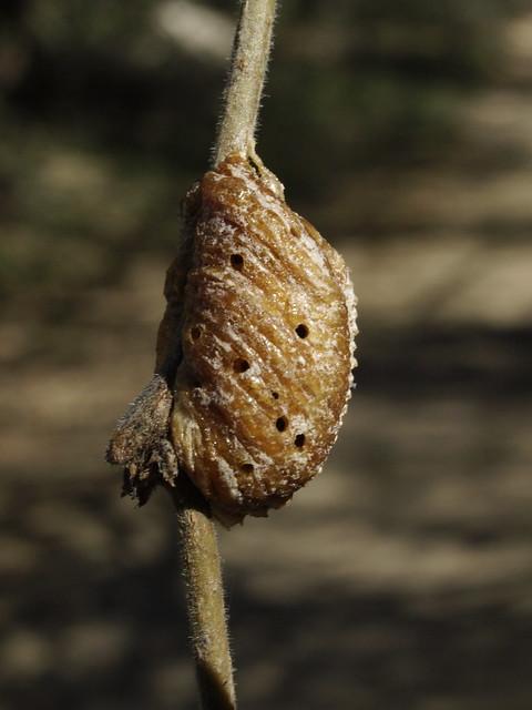 Praying Mantis Eggs photo