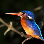 Kingfisher, Sukau, Kinabatangan River, Borneo