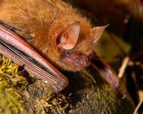 Tri Colored Bat Formerly Eastern Pipistrelle Perimyotis