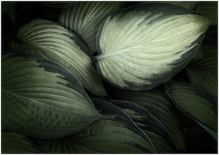 Hosta Highlight - by Bill Dixon | by Nature Camera Club