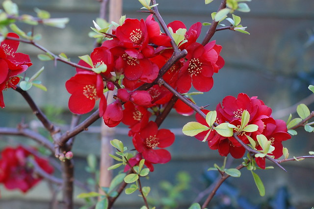 Red flowering quince bush