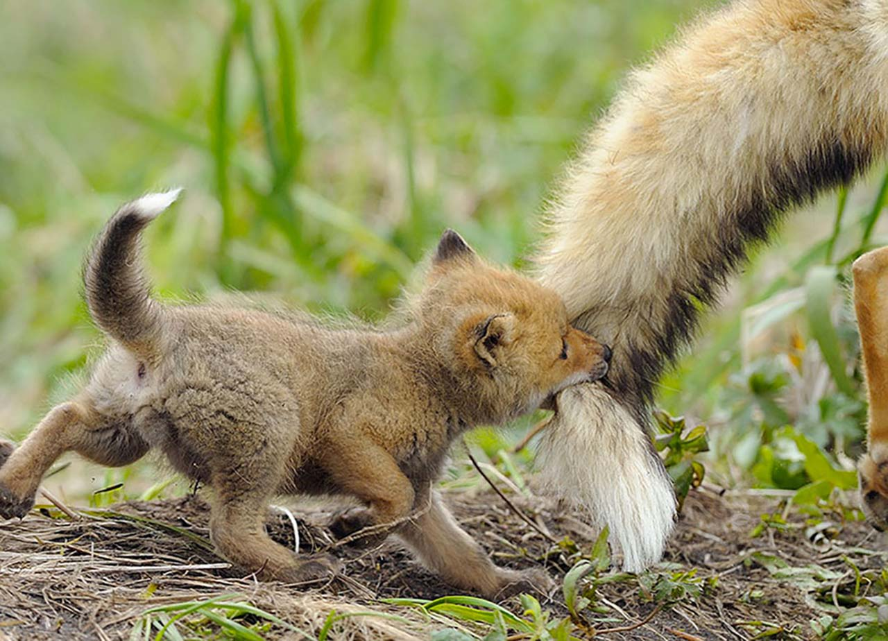 27 Adorable & Tiny Animals That Are Too Cute To Handle #14: Wolf