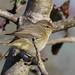 Pouillot véloce (Phylloscopus collybita).jpg