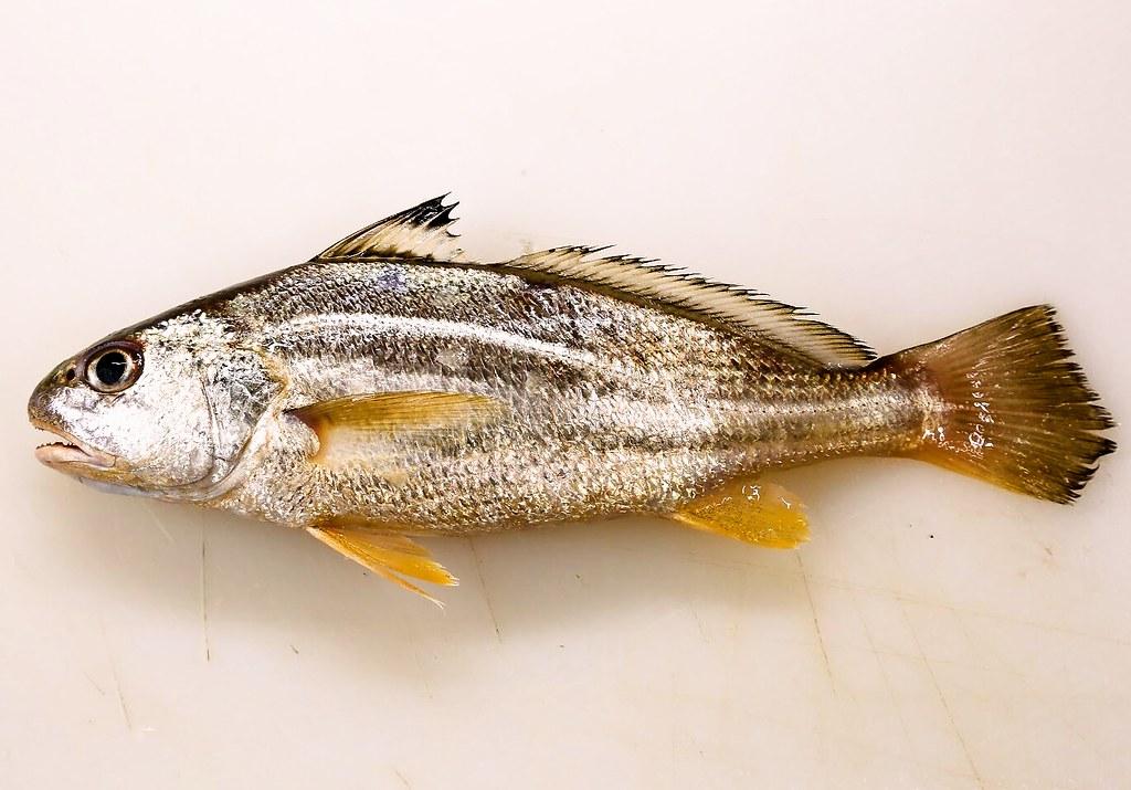 挑選鱗鰭叫姑魚,要選擇魚身花紋明顯、鱗片緊貼魚身且完整、眼睛清澈無淤血、魚腹結實有彈性。圖片來源:白尚儒。