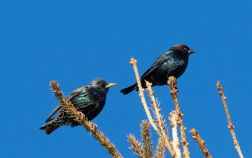 European Starling and Brown-headed Cowbird