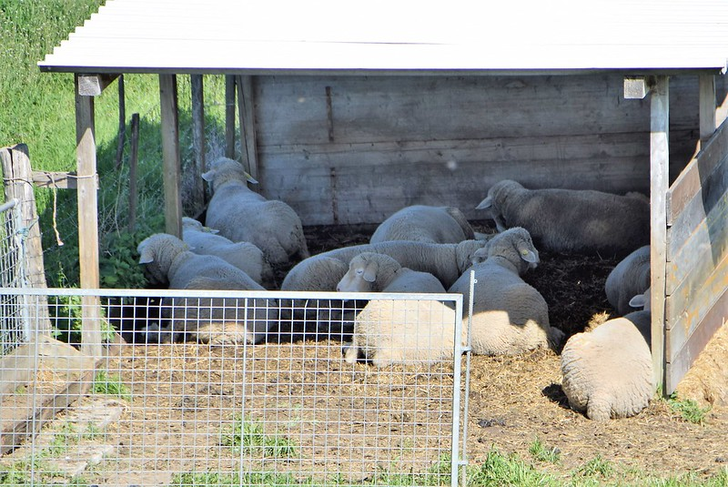 Sheep 09.04 (1)