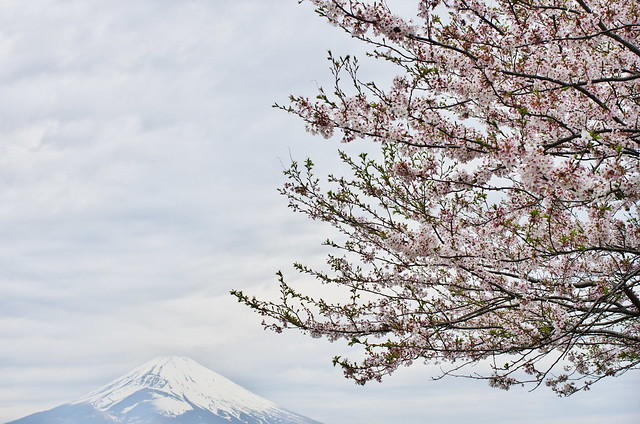 sakura and mt.fuji