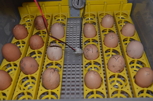 eggs in incubator Apr 17