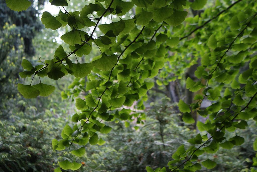Jolies feuille de gingko, l'arbre de vie des Asiatiques.