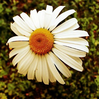 #daisy #flower #summer | by Meals With a Side of Miles