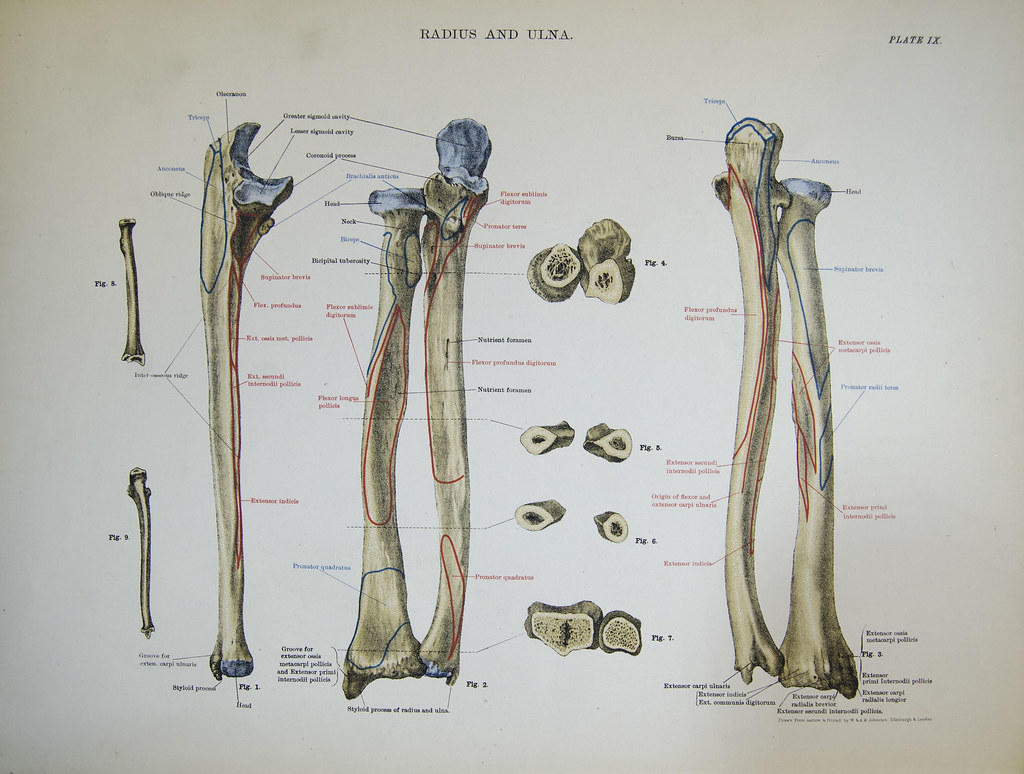 Radius and ulna (right forearm) | Bones of the right forearm… | Flickr