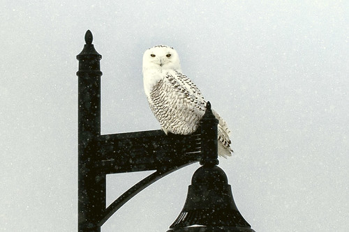 1-14 Snowy Owl-0281-Edit-1 | by jewelsofkent