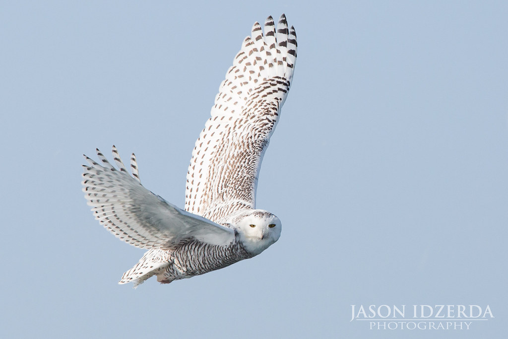 Snowy owl in flight at night - photo#5