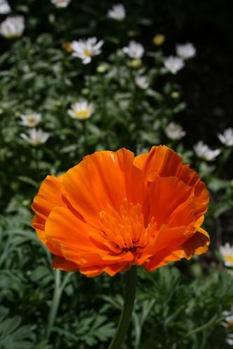 今年初庭のカリフォルニアポピー