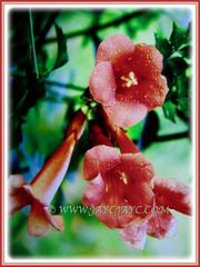 Captivating scarlet flowers of Russelia equisetiformis (Firecracker Plant, Coral Fountain/Plant, Fountain Plant, Coralblow), 8 April 2017
