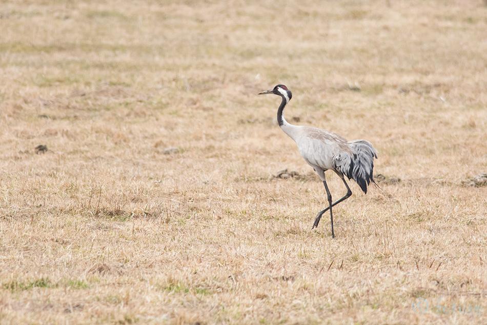 Sookurg, Grus, Eurasian, Crane, Common, Estonia, Kaido Rummel